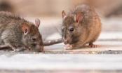 Có ít nhất 11 người tử vong do nhiễm virus nguy hiểm hanta từ chuột