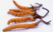 Đông trùng hạ thảo - món quà Tết mang lời chúc sức khỏe