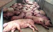 Thêm 1 địa phương ở Việt Nam xuất hiện dịch tả lợn châu Phi