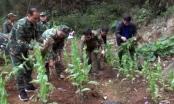Cao Bằng: Phá nhổ hàng trăm cây thuốc phiện chuẩn bị ra hoa, kết trái