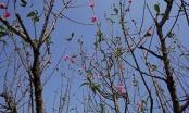 Thời tiết hanh khô, đào Tết Nhật Tân nở sớm