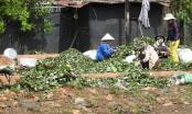 Tây Nguyên: Nông dân sốt ruột vì nạn trộm hạt hồ tiêu và cắt dây tiêu