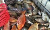 Hơn 1 tấn cá chết nổi trắng Hồ Tây: Chưa có tiền lệ