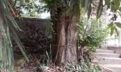 Sau 7 năm dân kêu cứu, khối gỗ sưa đã bị huyện Chương Mỹ đem bán giá hơn 31 tỷ đồng