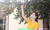 Nghệ An: Bạt ngàn quả vú sữa căng tròn đón mùa mới ở làng Quỳnh Yên