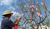 Tin kinh tế 6AM: Sững sờ với giá thuê đào cảnh chơi Tết tại Nghệ An