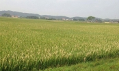 Long An: Người đàn ông chết bất thường bên ruộng lúa