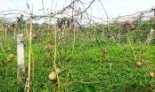 Dự án trồng chanh leo tại Quế Phong, Nghệ An: Cần rà soát lại toàn bộ quá trình thu hồi đất