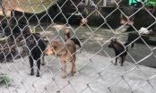 """Chó dữ lại cắn chết trẻ em: Nỗi đau thảm thương từ sự chủ quan """"thả rông"""""""