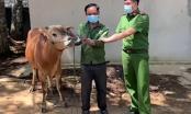 Sơn La: Bắt quả tang vụ trộm trâu bò cạnh nơi bầu cử