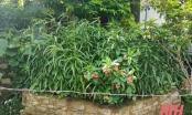Thanh Hóa: Trồng hàng trăm cây cần sa trong vườn nhà