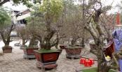 Những cây đào khủng rục rịch lên phố đón Tết