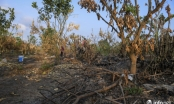 Khoái Châu - Hưng Yên: Gần tết, nhiều vườn cây ăn quả bị kẻ gian đốt trộm