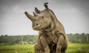 Sudan, con tê giác trắng phương bắc đực cuối cùng được Google tưởng nhớ