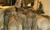 Thanh Hóa: Công an phường giúp dân tìm lại đàn trâu bị mất trộm