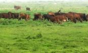 Thanh Hóa: Phát hiện 42 con trâu bò mắc bệnh lở mồm long móng