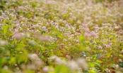 Ngắm hoa tam giác mạch nở trái mùa 'có một không hai' ở Ninh Bình