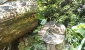 Khởi tố vụ xẻ rừng nghiến cổ thụ tại Điện Biên