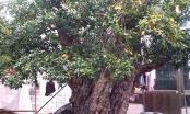 Chiêm ngưỡng cây Lựu hoàng đế 600 năm tuổi, được ngã giá 10 tỷ đồng