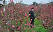 Đào nở sớm, người trồng đào Nhật Tân thấp thỏm lo...