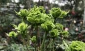 Tết này, giới chơi cây lại sốt xình xịch với loại hoa hồng có màu xanh như lá