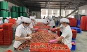 Mùa vải lịch sử và kỳ tích từ tâm dịch Bắc Giang
