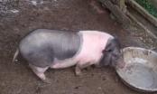 Hà Tĩnh: Lợn dự án hỗ trợ cho người nghèo bỗng dưng chết hàng loạt!