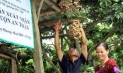19 tấn nhãn chín muộn của Hà Nội xuất khẩu đi Mỹ và châu Âu