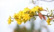 Cây mai hơn 100 tuổi lần thứ 5 có mặt tại chợ hoa xuân Đà Nẵng