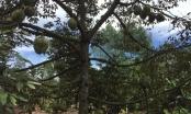 Bà Rịa - Vũng Tàu: Trái cây mùa hè giảm năng suất lẫn giá thành