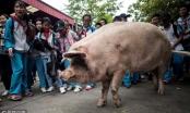 Chuyện về chú lợn nổi tiếng nhất Trung Quốc