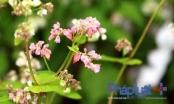 Ngỡ ngàng trước vẻ đẹp của hoa tam giác mạch khoe sắc giữa Hà Nội