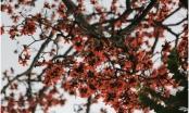 Ngắm hoa gạo đỏ rực trên phố phường Thủ đô