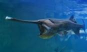 Cá mái chèo cổ đại của Trung Quốc đã tuyệt chủng