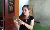 Phú Thọ: Tưởng u lợn lại hóa cát lợn tiền tỷ