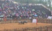 Phú Thọ: Hội chọi trâu Phù Ninh 2018 thu hút hàng nghìn du khách tham gia