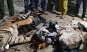 Nghệ An: Phát hiện hai cá thể hổ đông lạnh dấu ở trang trại bò