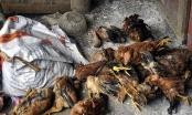 Gia Lai: 25 người ngộ độc sau khi ăn thịt gà chết