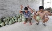 Dưa hấu Trung Quốc nảy tưng như bóng cao su khi ném xuống đất