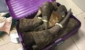 Nghi án hai valy vô chủ chứa đầy sừng tê giác ở sân bay Nội Bài