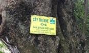"""Phong danh hiệu """"cây di sản"""": Nên dừng khi """"bên có cây không biết giữ"""""""