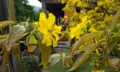 Quảng Ninh: Rực rỡ sắc Mai vàng Yên Tử