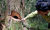 Quảng Nam: Vụ rừng pơmu bị phá: Kỷ luật Đảng hàng loạt cán bộ