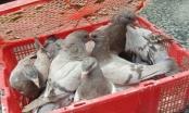 Quảng Ninh: CSGT thu giữ 500 con chim bồ câu không rõ nguồn gốc