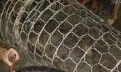 Hà Nội: Bất ngờ bắt được cá sấu nặng hơn 30 kg trong lúc đi đánh cá