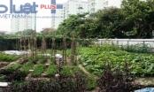 Hà Nội: Sợ rau ngoài chợ, hàng chục hộ dân tự quây đất trồng rau sạch