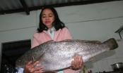 Bắt được cá lạ nghi cá sủ vàng quý hiếm dài gần 1m