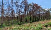 Truy tìm những kẻ đầu độc, phá rừng thông đến CHẾT