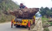 Bắc Kạn:Tạm giữ khối lượng lớn gỗ nghi Gù Hương có dấu hiệu bất thường