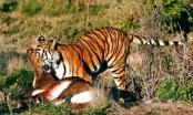 Bắc Kạn: Hổ rừng ngông cuồng càn quét khu dân cư?